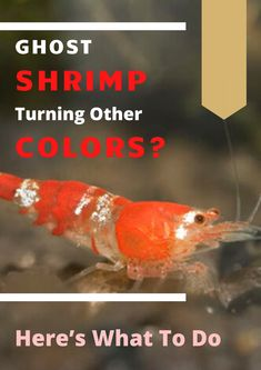 One of my friends recently saw one of his ghost shrimps turned into white color and it freaked him out. Freshwater Aquarium Shrimp, Aquarium Fish, Ghost Shrimp, Snails, Fresh Water, Color Change, Pets, Friends, Brown