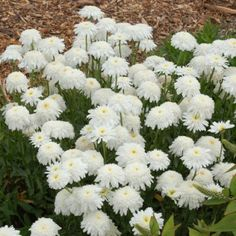 Common name:  Ice Star Shasta daisyBotanical name: Leucanthemum 'Ice Star'Description:  Shasta daisies are dependable garden favorites, and 'Ice Star' is sure to be added to that popularity list. Large, fully double, white pompom daisies are hardy and bloom for a long time in summer. With long, strong stems, they make excellent cut flowers. Size: 30 inches x 24 inchesUses: Flowerbeds and borders, cottage gardens, mass planting, containersClimate conditions:  Grow 'Ice Star' Shasta daisy in…
