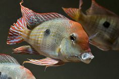 """Geophagus Tapajos """"orange head"""": earth eater cichlid.  will sift through sand to eat."""