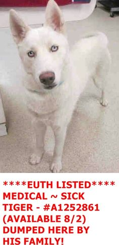I am a neutered male, white Siberian Husky. The shelter staff think I am about 1 year and 7 months old. I have been at the shelter since Aug 02, 2016. My stray holding period ended on 08/02/2016 and I am now available for adoption. For more information about this animal, call: Riverside County Animal Control - Riverside Shelter at (951) 358-7387