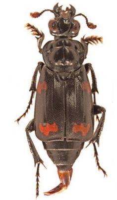 New species of burying beetle discovered in Solomon Islands