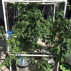 #DeweyMisterAeroponics #Growing #aeroponics #tomatoes #growyourown #homegrown #food #vegetables #DeweyMister #innovation #madeinusa by deweymister1