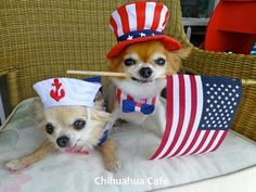 130 Best Teacup Chihuahua Images Dogs Cute Dogs Teacup