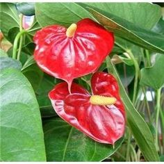Anthurium plant is one of the world's most exotic tropical flowers. Its glossy red, heart-shaped flowers are spathes, each with a white spadix covered with its tiny, true flowers. Anthurium growing tips.