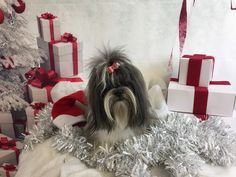 "Zara the Shih Tzu says ""Merry Christmas"""
