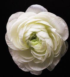 Ranunculus ...