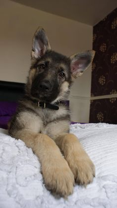 German shepherd - Look at his big puppy feet - he'll grow into those