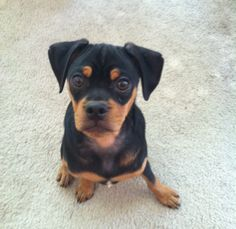 The Miniature Pinscher is really a German breed.