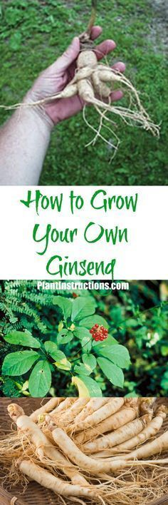 How to Grow Ginseng – Plant Instructions Growing Ginseng, Growing Herbs, Growing Vegetables, Farm Gardens, Small Gardens, Organic Gardening, Gardening Tips, Indoor Gardening, Urban Gardening