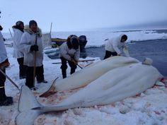 nunavut walrus hunting