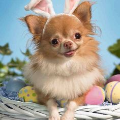 Easter chihuahua#Repin By:Pinterest++ for iPad#