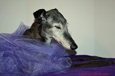 Today is the day. Our sweet senior Greyhound, the incomparable Lady Lilac, turns sixteen years old today. I never, ever thought I'd end up being the human servant to a Greyhound who lived to be sixteen years old. When we were new to Greyhound adoption, there was a Greyhound named Suzie who lived to be …Read more...