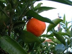 How to Start a Tangerine Tree From a Seed...one of my BFFs has a very old tree that produces the sweetest tangerines ever.  It is going to be worth the effort to grow another one just like it.