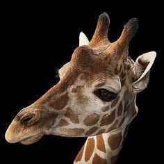 photo by @joelsartore  A reticulated giraffe at the Gladys Porter Zoo. #joelsartore #photoark #beautiful #photooftheday #giraffe by natgeo