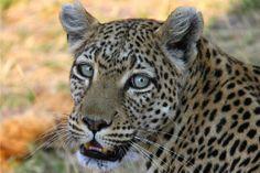 Kimi's Botswana Safari - Magnificent Machaba in Okavango's Khwai Concession