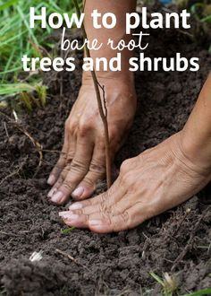 Get cheaper shrubs, trees and hedging with bare-root plants. TV Gardener David Domoney gives you expert tips on establishing bare-root plants Flowering Shrubs, Trees And Shrubs, Trees To Plant, Landscaping Around Patio, Landscaping Tips, Small Space Gardening, Gardening Tips, Garden Clearance, Bare Tree
