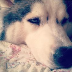 Genesis my beautiful Siberian Husky