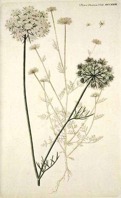 108652 Daucus carota L. / Flora Danica [G.C. Oeder et al], fasicle 13, t. 723 (1761-1883)