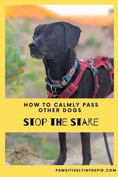 How to Pass Other Dogs Calmly: Stop the Stare - Pawsitively Intrepid Therapy Dog Training, Dog Training Books, Therapy Dogs, Dog Training Tips, Dog Status, Reactive Dog, Hyper Dog, Positive Dog Training, Good Citizen