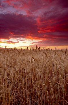 """Wheat Field Sunset"" by Dave Renner Beautiful Sky, Beautiful World, Beautiful Places, Fields Of Gold, Wheat Fields, Sunset Art, Felder, Belle Photo, Amazing Nature"
