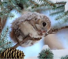 In Japan, the Siberian flying squirrel (Pteromys volans) occurs only in Hokkaido. To the south in Honshu, it is replaced by the Japanese dwarf flying squirrel (P. Cute Little Animals, Cute Funny Animals, Nature Animals, Animals And Pets, Pinterest Cute, Japanese Dwarf Flying Squirrel, Tier Fotos, Cute Animal Pictures, Cute Creatures