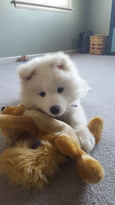 Samoyed puppy with her favorite toy http://ift.tt/2kfmISS