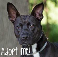 Adopt Liberty Belle a black Pit Bull Terrier mix dog at Wayside Waifs in Kansas City MO