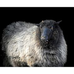 Black Sheep, Barnyard Animal, Farm Animal, Countryside, Sheep... (46 ILS) ❤ liked on Polyvore featuring home, home decor, wall art, photographic wall art, photography wall art, animal wall art, gray home decor and grey wall art