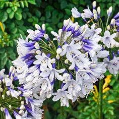 Buy African lily Agapanthus africanus 'Twister (PBR)' - A new form with bicoloured flowers: Delivery by Crocus