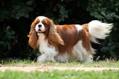 If I ever chose a purebred over a rescue, this is the breed I'd pick. I love King Charles.