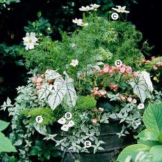 Light, bright colors show best in shade. This planting relies on shimmering white with a touch of pink to stand out from its surroundings. A. Caladium 'Candidum': 3 B. Petunia 'Supertunia Mini-Silver': 3 C. Cosmos bipinnatus 'White Sonata': 2 D. Reiger begonia (Begonia 'Charisma Pink'): 3 E. Lamium galeobdolon 'Herman's Pride': 3 F. Asparagus fern (Asparagus densiflorus): 2/