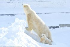 The pair live at Orto Doidu zoo in Yakutsk, Siberia