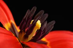 Tulip by Mark Johnson