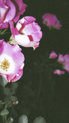 Wallpapers, Rose, Flowers, Plants, Pink, Roses, Wallpaper, Flora, Plant