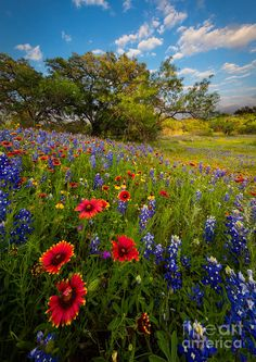 Texas Paradise Photograph by Inge Johnsson Beautiful Flowers, Beautiful Places, Texas Bluebonnets, Mont Saint Michel, Photos Voyages, Felder, Texas Hill Country, Blue Bonnets, Amazing Nature