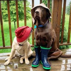 Popular for their trainability and happy dispositions, the golden and Labrador retrievers are the option animal for lots of American households. They are also popular as disability support canines. Funny Dogs, Funny Animals, Cute Animals, Cute Dogs Breeds, Dog Breeds, Tier Fotos, Cute Animal Pictures, Dog Behavior, Training Your Dog