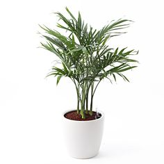 [Net] Rechuza limited to the planted Mexico Ken tea palm floor size LL   Muji net store
