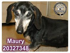 MAURY DH104 ID#20327348 10YR OLD DACHSHUND MIX, ALTERED MALE 11 LBS EXPECTED SENIOR ADULT SIZE SMALL INTAKE DATE: - 06/28/139:56AM – AVAILABLE: -7/8/13 9:56AM SOMEHOW MAURY GOT AWAY FROM HOME AND NOW THIS POOR SENIOR GUY IS SITTING IN THE SHELTER. HOPEFULLY HIS FAMILY WILL COME GET HIM SOON. TO ADOPT: PLEASE VISIT Arlington Animal Services, 1000 SE Green Oaks, Arlington, Texas 76018 Shelter hours: Weekdays (10-6), Saturdays (10-4). Closed Sundays.