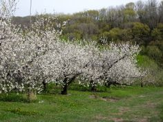 Spring apple trees in bloom in Driftless Wisconsin. Photo by Marlene Meyer of Kickapoo Orchards in Gays Mills.