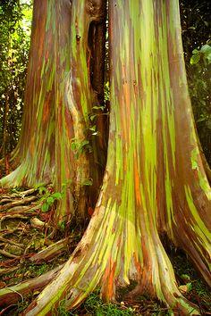 My favorite tree in the whole world: rainbow eucalyptus.