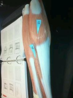 15. Gastrocnemius: plantar flexes foot when knee is extended (tippie toes) 16. Soleus: plantar flexion (tippie toes)