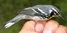 Unfortunately, this little guy, a yellow throated warbler, wasn't at my feeder.  He somehow got electrocuted on my chickens' electric fence.  Pretty colors...and almost at the western edge of his natural range.