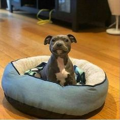 American Pitbull – All You Want to Know About This Breed – Pets and Animals Cute Baby Dogs, Cute Dogs And Puppies, I Love Dogs, Doggies, Cute Pitbull Puppies, Blue Staffy Puppy, Pomeranian Puppy, Chihuahua Dogs, Pet Dogs