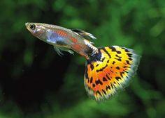 pesce milione immagini - Cerca con Google