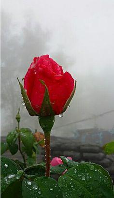 最爱的玖瑰 Red Flowers, Red Roses, Tulips Images, Rose Photos, Beautiful Roses, Pretty Pictures, Nature, Photography, Romans
