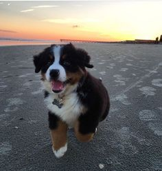 Terrific Free bernese mountain dogs happy Tips : A Bernese Off-road Dog is usually a popular substantial canine breed. It is just about the some kinds in which range from Sennenhund-type pets of the . Super Cute Puppies, Cute Baby Dogs, Cute Little Puppies, Cute Dogs And Puppies, Cute Little Animals, Doggies, Puppies Puppies, Baby Animals Pictures, Cute Animal Pictures