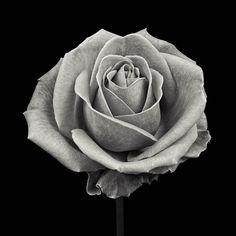 Weston Gallery: Artists of the Weston Gallery Beautiful Flowers Garden, Beautiful Roses, Rose Reference, Realistic Rose Tattoo, Rose Flower Tattoos, Scratchboard Art, Body Art Tattoos, Tattoo Art, Tattoo Drawings
