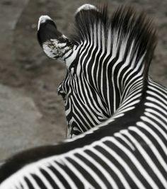 Stunning beauty! Zebra!