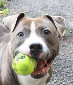 Adoptable Max is about 2.5 yrs old and 50 lbs...He is an easy to walk dog and loves to play with a toy or ball.  Click through to learn more about him! Animal Shelter, Animal Rescue, Pets For Sale, Beautiful Dogs, Dog Life, Dog Cat, Pet Pet, Puppy Love, Best Dogs