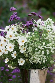 Ammi majus Bishop's Flower Cosmos bipinnatus 'Purity' Verbena bonariensis